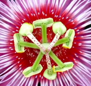 05 Passiflora
